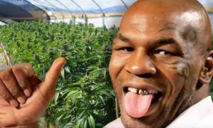 Mike Tyson otwiera cannabisową farmę w Kalifornii, Dutch Seeds