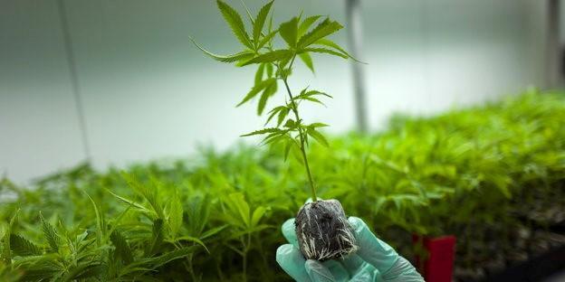 Firmy Chcą Inwestować W Marihuanę Produkowaną W Niemczech, Dutch Seeds