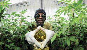 Na Jamajce powstaje przemysł cannabisowy, Dutch Seeds