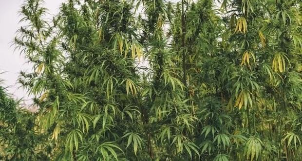 Nielegalne Plantacje Konopi Indyjskich w Północnej Kalifornii Zanieczyszczają Środowisko, Dutch Seeds