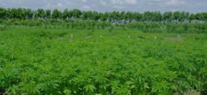 Rodzice uprawiali syna marihuanę, Dutch Seeds