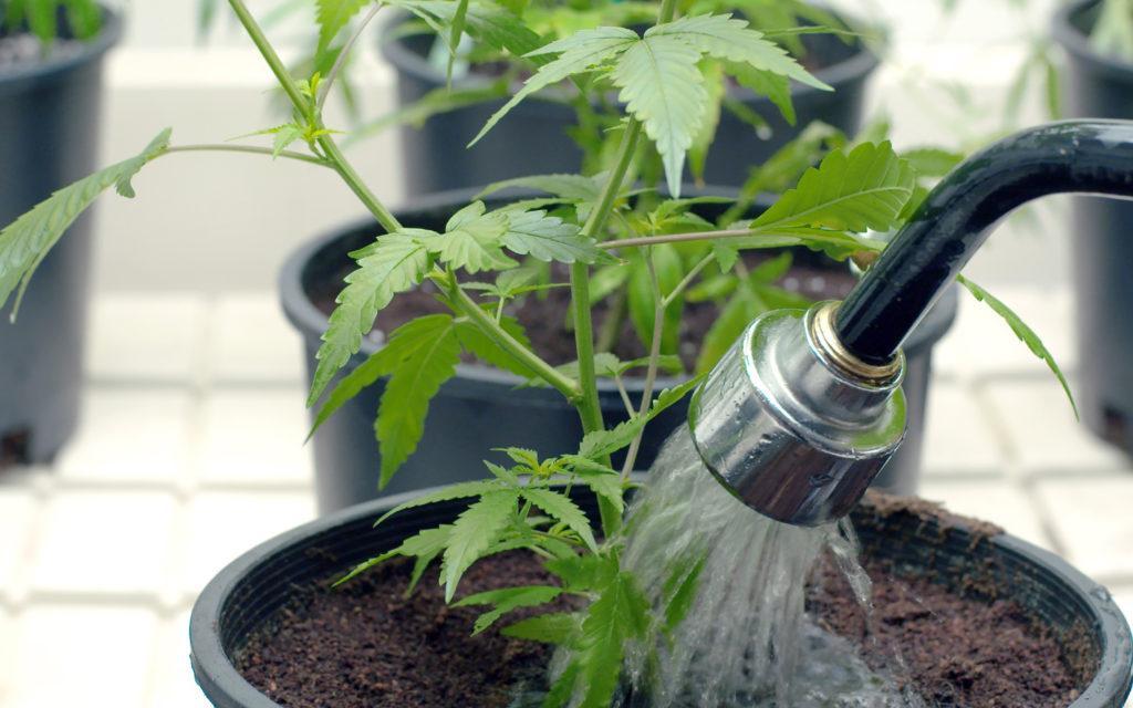 Jak Prawidłowo Podlewać Rośliny Konopi Indyjskich?, Dutch Seeds