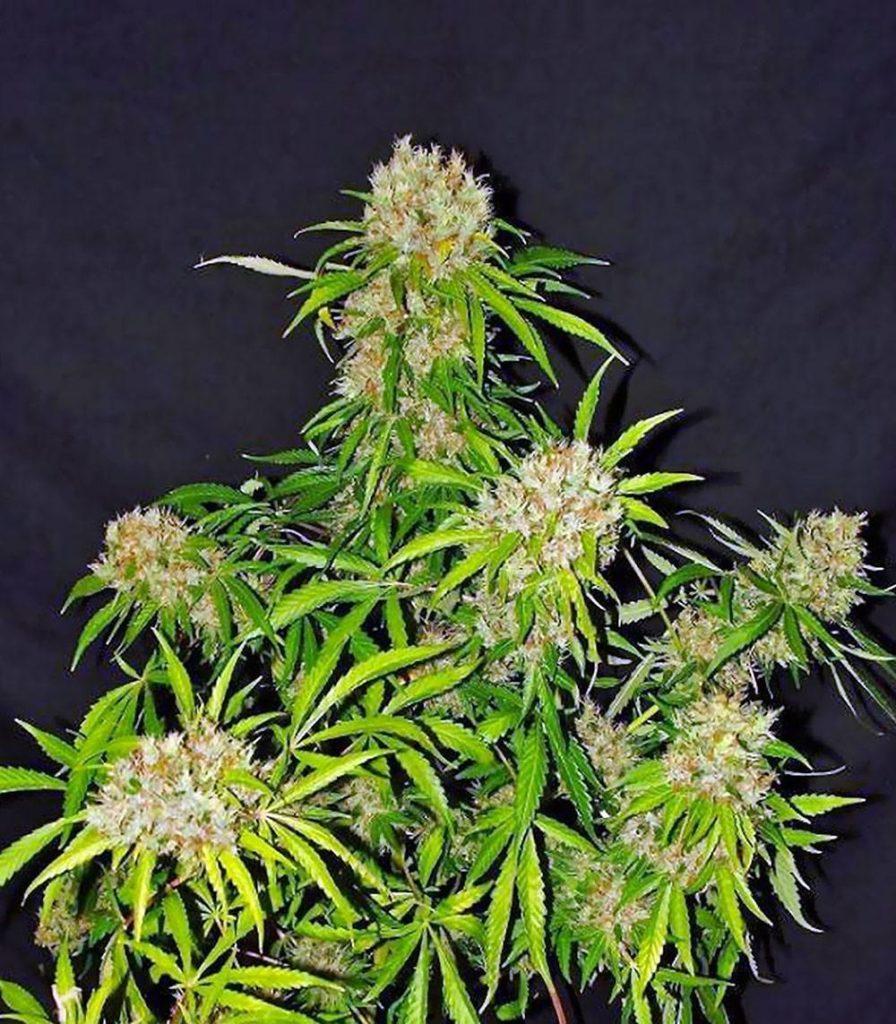 Recenzja Odmiany White Widow X The Ultimate od Dutch Passion, Dutch Seeds